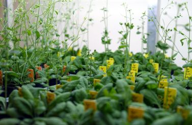 csiro_scienceimage_3174_arabidopsis_in_growth_cabinet_at_the_csiro_discovery_centre_labs_black_mountain_act
